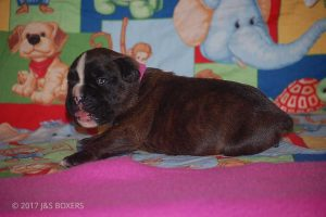 boxer-puppies38