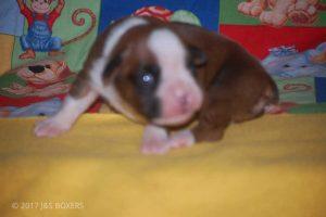 boxer-puppies39
