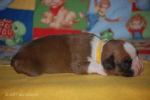 boxer-puppies40