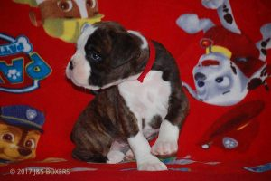 new boxer puppy13