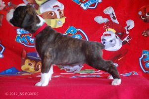 new boxer puppy14
