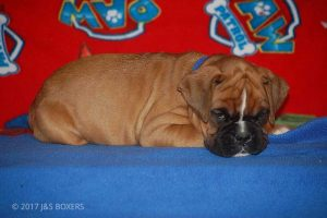 new boxer puppy15