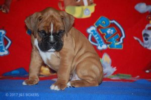 new boxer puppy16