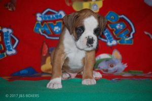 new boxer puppy17