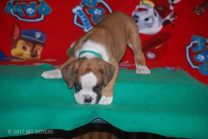 new boxer puppy18