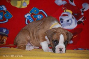 new boxer puppy19