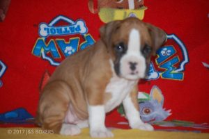 new boxer puppy20