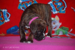 new boxer puppy21