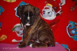 new boxer puppy22