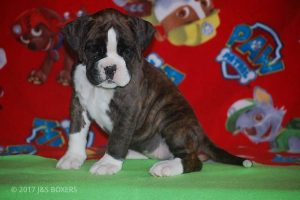 new boxer puppy25