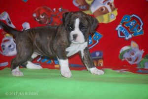 new boxer puppy26