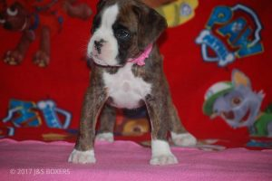 new boxer puppy27