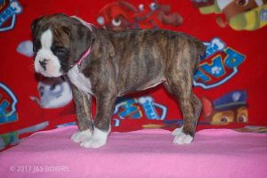 new boxer puppy28