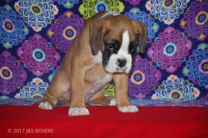 new boxer puppy29