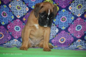 new boxer puppy36
