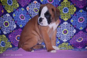 new boxer puppy37
