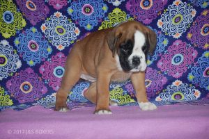 new boxer puppy38