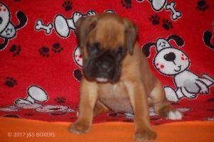 boxer-puppies01