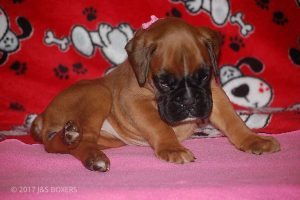 boxer-puppies04