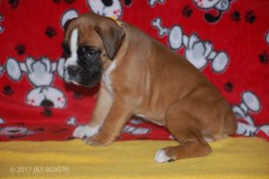 boxer-puppies05