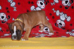 boxer-puppies06