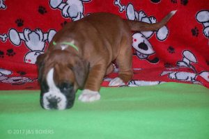 boxer-puppies07