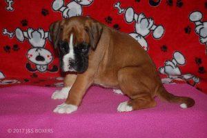 boxer-puppies09