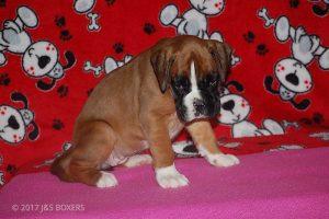 boxer-puppies10
