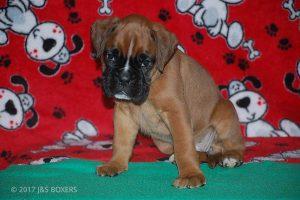 boxer-puppies11