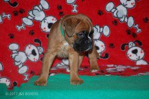 boxer-puppies12