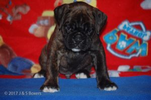 boxer-puppies01