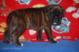 boxer-puppies02