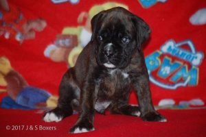boxer-puppies03