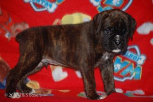 boxer-puppies04