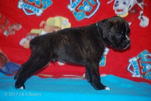 boxer-puppies06