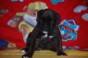 boxer-puppies07