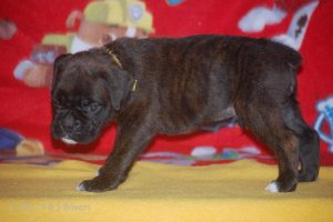 boxer-puppies08