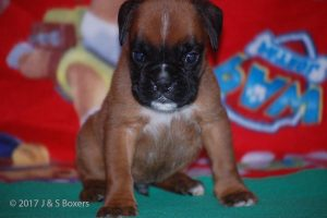 boxer-puppies09