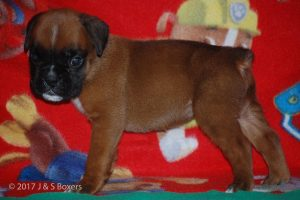 boxer-puppies10