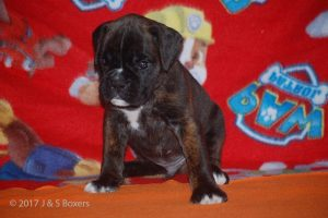boxer-puppies11
