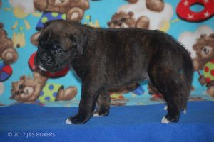 new boxer puppy01