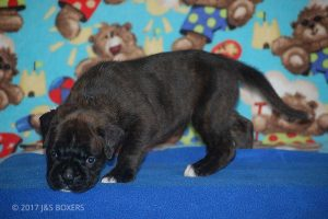 new boxer puppy02