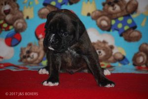 new boxer puppy04