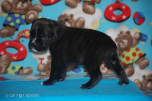new boxer puppy06