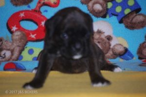 new boxer puppy07