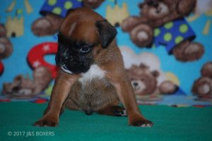 new boxer puppy09
