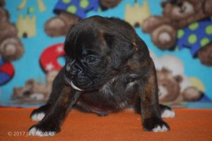 new boxer puppy11