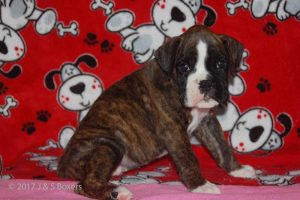 July-boxer-puppies01