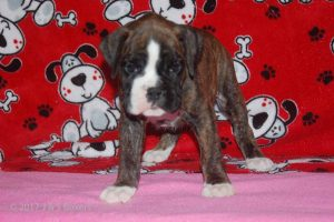 July-boxer-puppies02