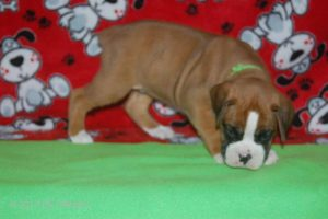 July-boxer-puppies03